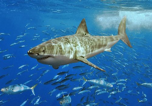 Australia autoriza la caza del tiburón blanco en sus aguas
