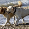 perros-golden-retriever_th_1cce678baa2865fe866ba90e481edd63