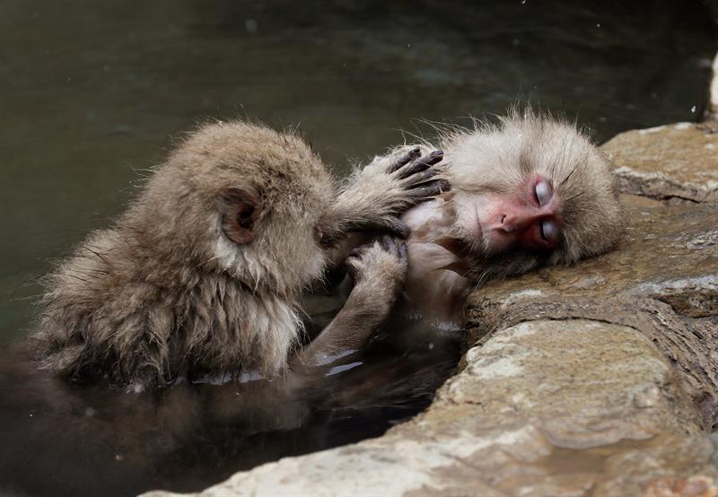 Los macacos japoneses conocidos como monos de nieve - Banos termales madrid ...