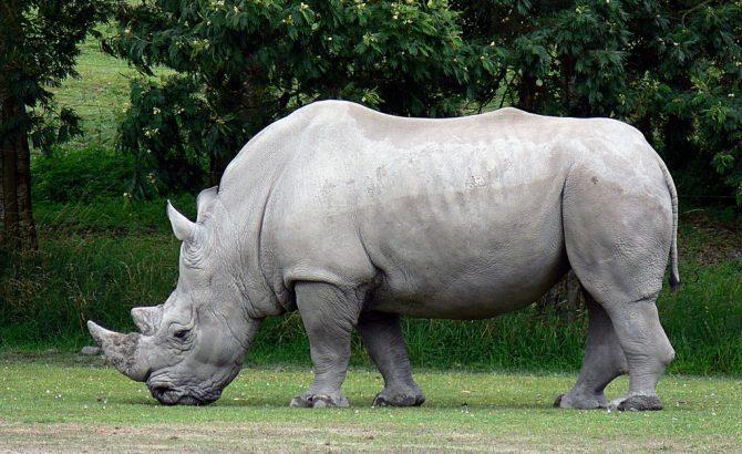 Embriones híbridos, la última esperanza del rinoceronte blanco