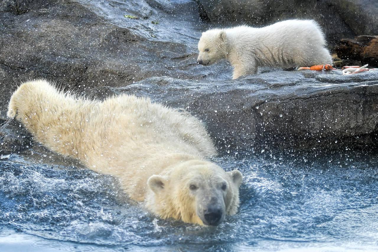 El Zoo De Viena Presenta Una Cría De Oso Polar La Primera En Doce Años Republica Com